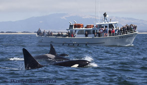 Killer Whales and whale watching boat, the Pt. Sur Clipper, photo by Daniel Bianchetta