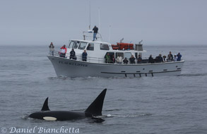 Killer Whales CA-40 and her son CA-40B by Pt Sur Clipper, photo by Daniel Bianchetta