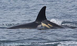 Mother and young calf Killer Whales, photo by Daniel Bianchetta