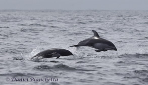 Northern Right Whale Dolphin and Pacific White-sided Dolphins, photo by Daniel Bianchetta