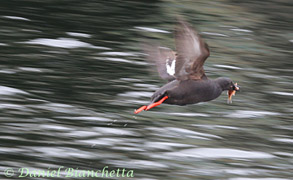 Pigeon Guillemot with small rockfish, photo by Daniel Bianchetta