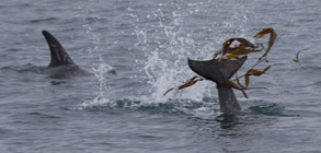 Risso's Dolphin Flipping Kelp, photo by Daniel Bianchetta