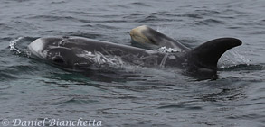 Mom and baby Risso's Dolphins, photo by Daniel Bianchetta