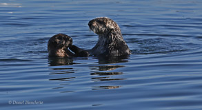 Female sea otter with pup, photo by Daniel Bianchetta