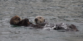 Sea Otter mother and pup, photo by Daniel Bianchetta