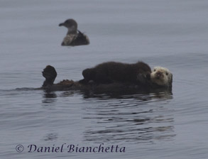 Sea Otter with pup, photo by Daniel Bianchetta