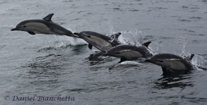 Short-beaked Common Dolphins, photo by Daniel Bianchetta