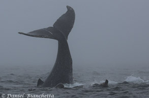 Tail throwing Humpback Whale with Sea Lions, photo by Daniel Bianchetta
