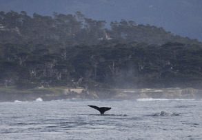 Two Gray Whales in Monterey Bay, photo by Daniel Bianchetta
