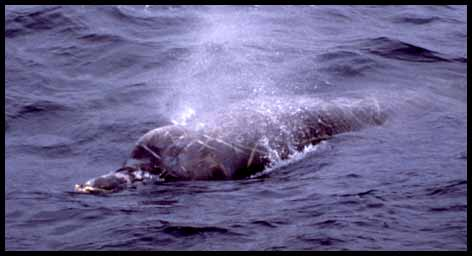 Monterey Bay Whale Watch -- Baird's Beaked Whale Photo