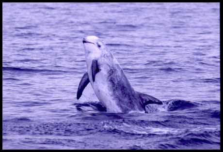 Pictures of risso's dolphin 3